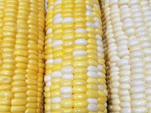Yellow bicolor and white sweet corn on the cob